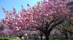 中央公園 桜